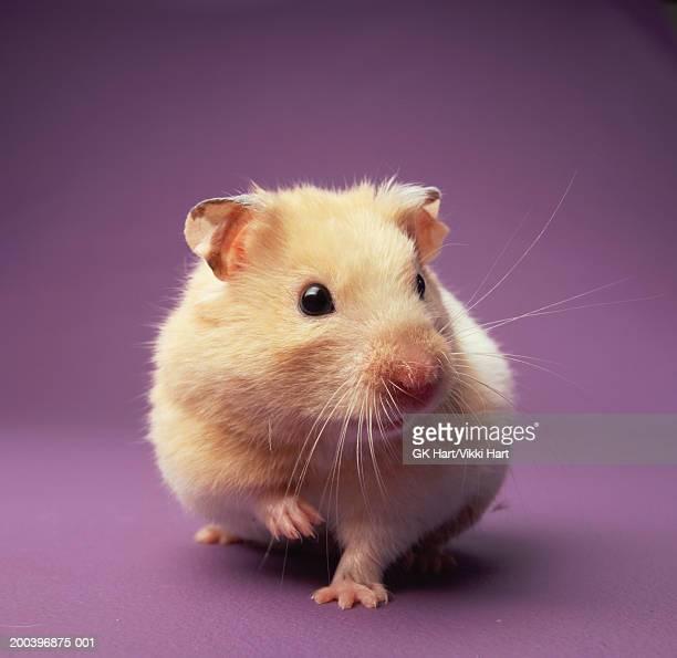 hampster, close-up - hamster stock-fotos und bilder
