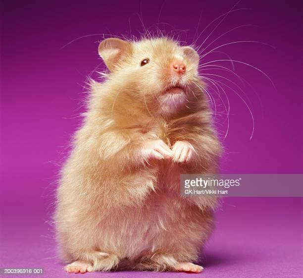 hampster standing on rear legs - hamster photos et images de collection