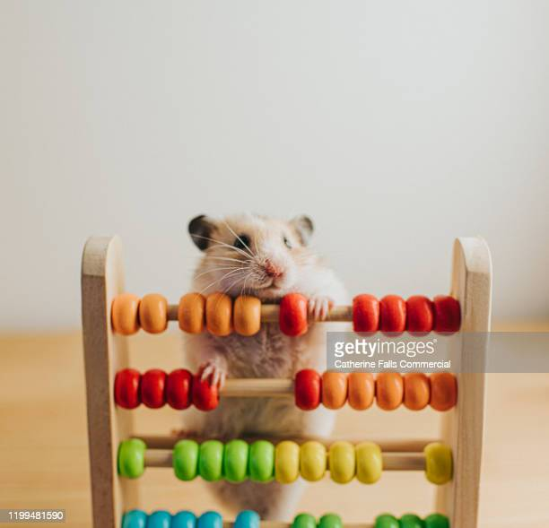 hamster and an abacus - pets stock pictures, royalty-free photos & images