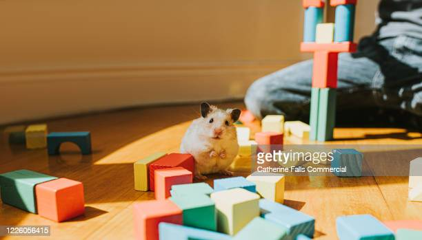 hamster and building blocks - pets stock pictures, royalty-free photos & images