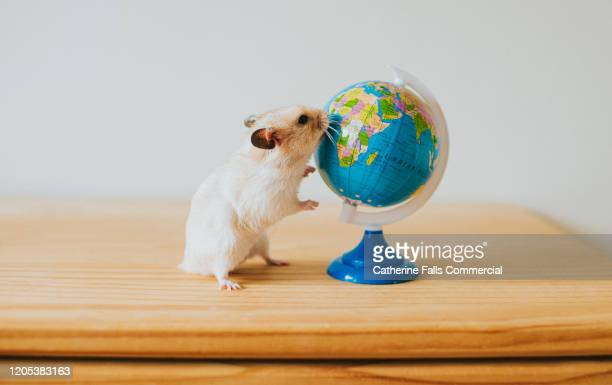 hamster and globe - rodent stock pictures, royalty-free photos & images