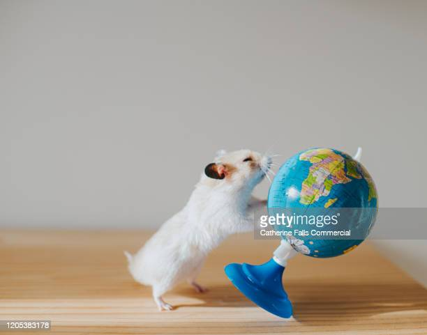 hamster and globe - misbehaviour stock pictures, royalty-free photos & images