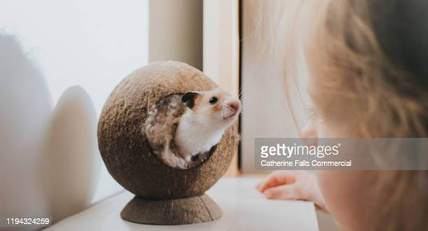 hamster and his young owner - hamster stock-fotos und bilder