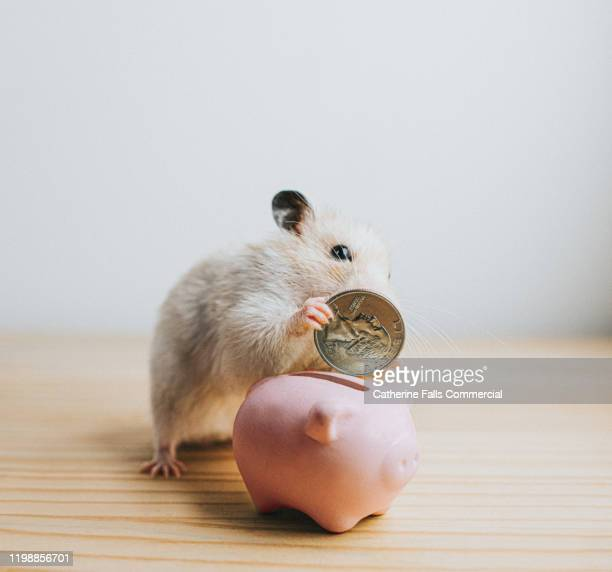 hamster and piggy bank - us coin stock pictures, royalty-free photos & images