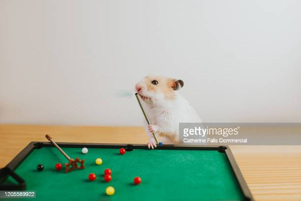 hamster blowing chalk - cute stock pictures, royalty-free photos & images