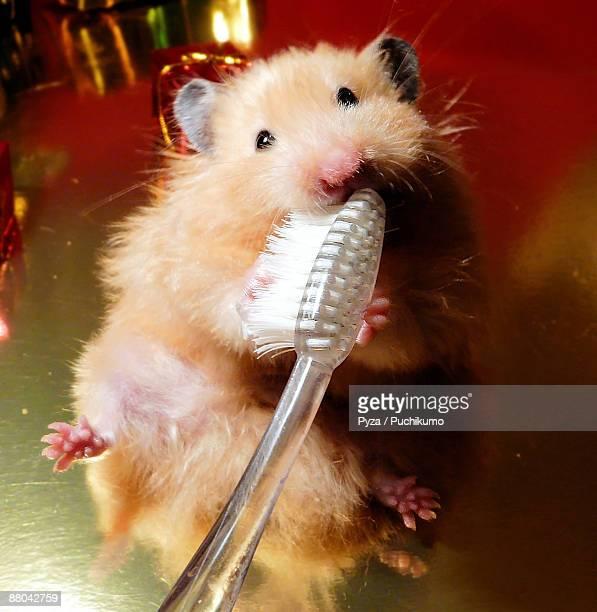 Hamster brushing teeth