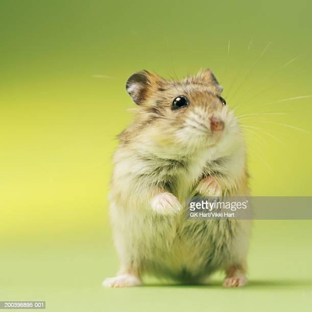 hamster, close-up - hamster imagens e fotografias de stock