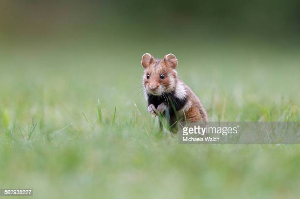 Hamster -Cricetus cricetus-, alert young in a meadow, Austria