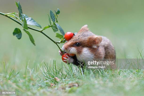 Hamster -Cricetus cricetus- taking a rosehip for its hoard, Austria