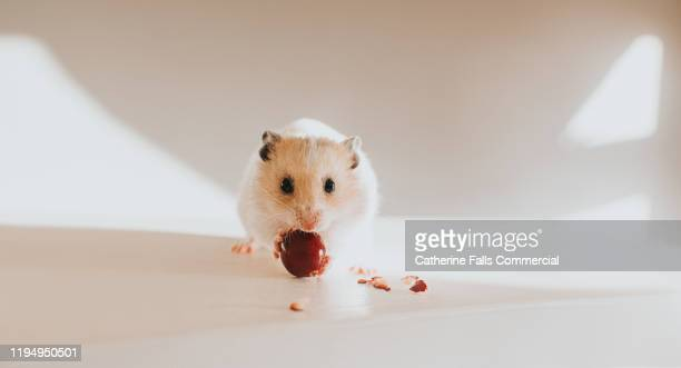 hamster eating a cranberry - hamster photos et images de collection
