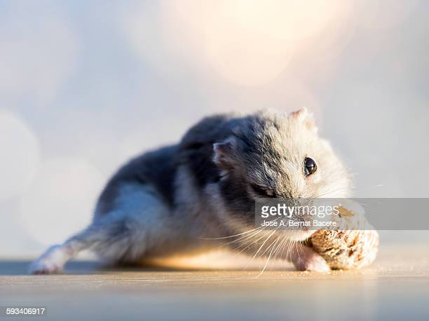 Hamster eating a dry fig