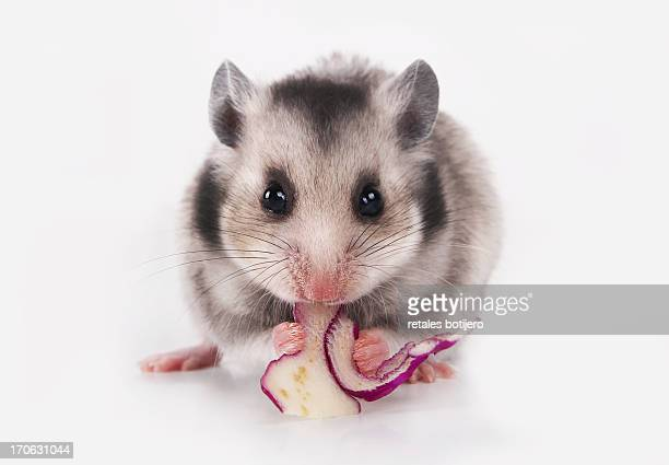 hamster eating cabbage
