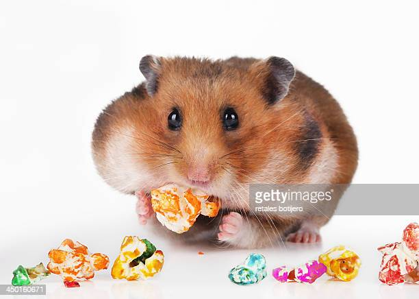 Hamster eating candied sweet popcorn