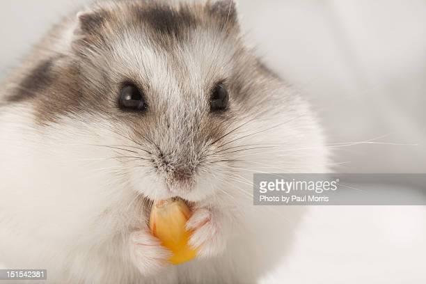 Hamster eating corn