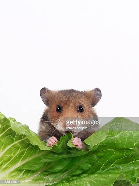 Hamster eating lettuce