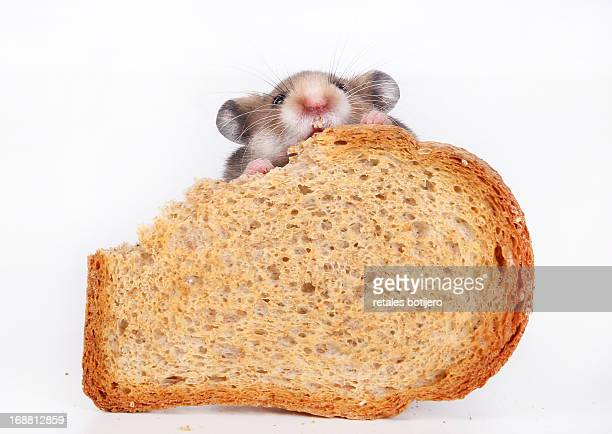 Hamster eating tost