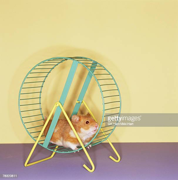 Hamster getting workout on spinning wheel