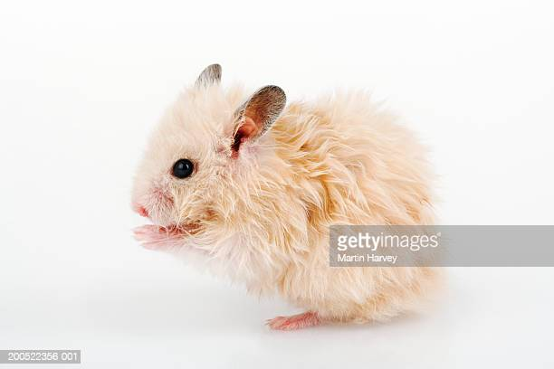 Hamster grooming, against white background, close-up