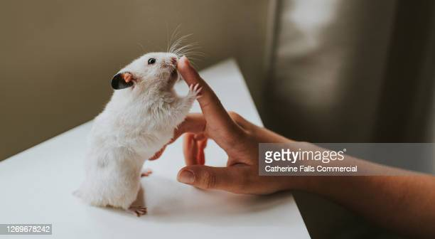 hamster holds on to a child's index finger - hamster stock pictures, royalty-free photos & images
