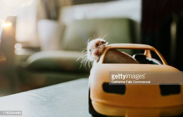 hamster in a car - small stock pictures, royalty-free photos & images