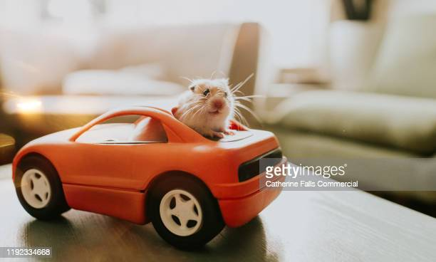 hamster in a car - hairy bum stock pictures, royalty-free photos & images