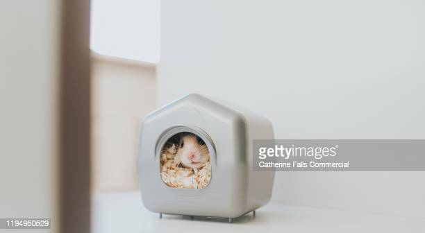 hamster in a house - pets stock pictures, royalty-free photos & images