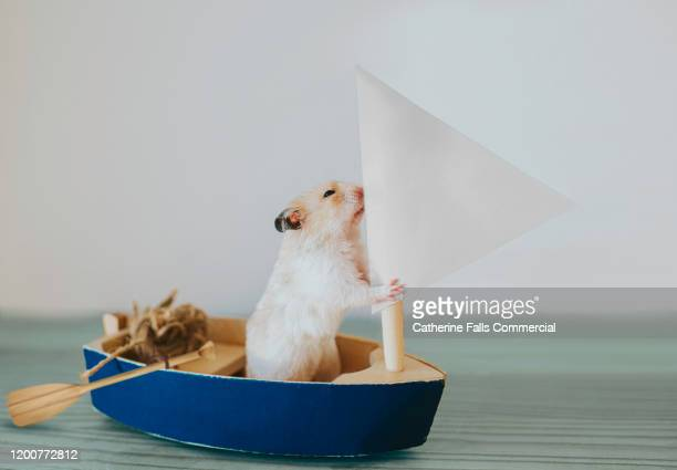 hamster in a sail boat - marina stock pictures, royalty-free photos & images