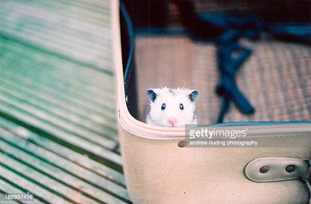 Hamster in a suitcase