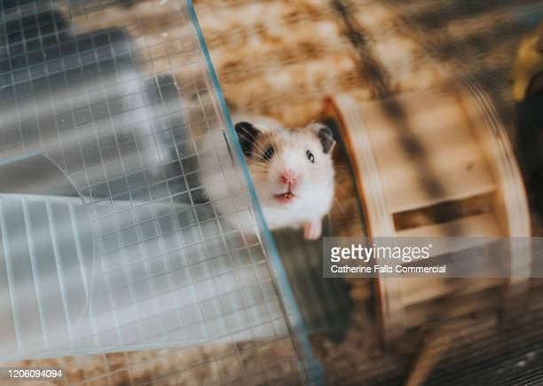 hamster in cage - animal behavior stock pictures, royalty-free photos & images