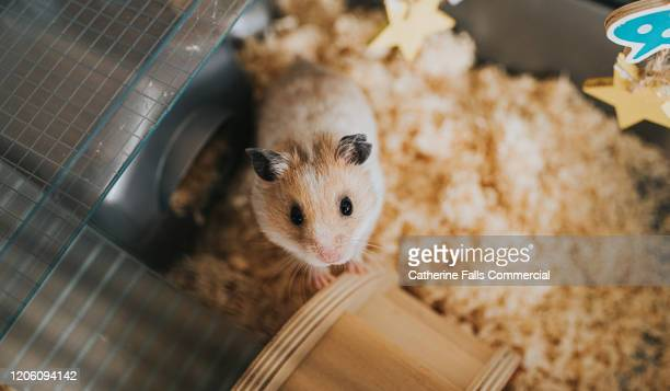 hamster in cage - child behind bars stock pictures, royalty-free photos & images