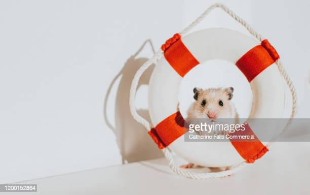 hamster in life ring - passenger craft stock pictures, royalty-free photos & images