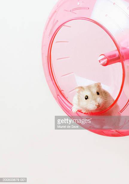 Hamster in plastic wheel, against white background, close-up