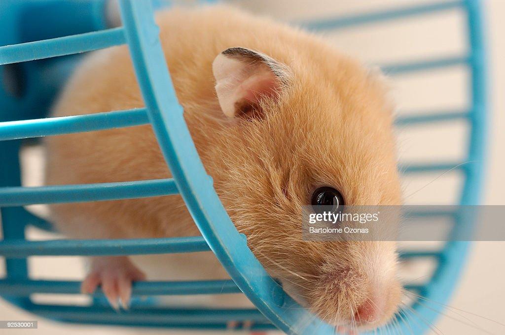Hamster in wheel : Stock Photo