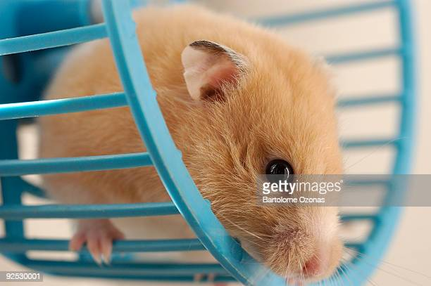 roue de hamster - hamster photos et images de collection
