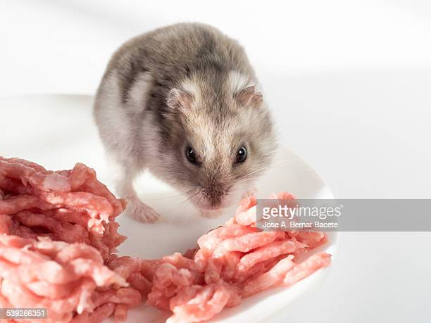 Hamster inside a plate eating minced meat