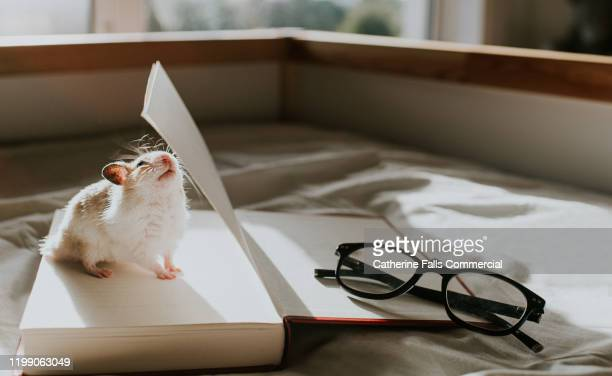 hamster inside an open book - animal stock pictures, royalty-free photos & images