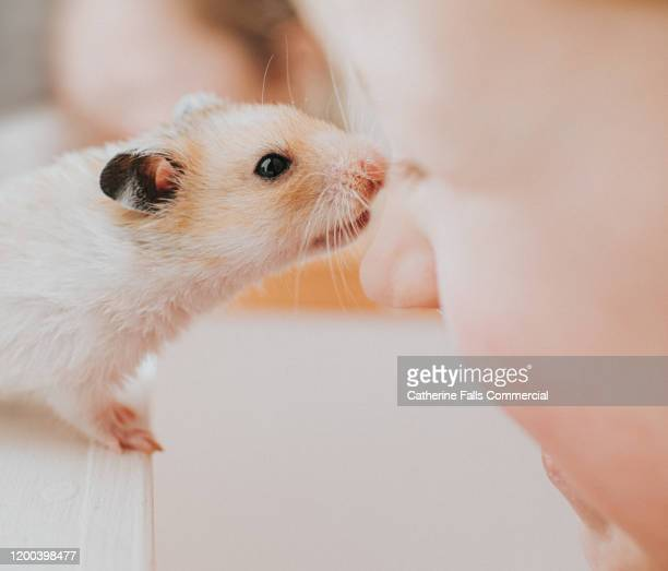 hamster kisses - owner stock pictures, royalty-free photos & images