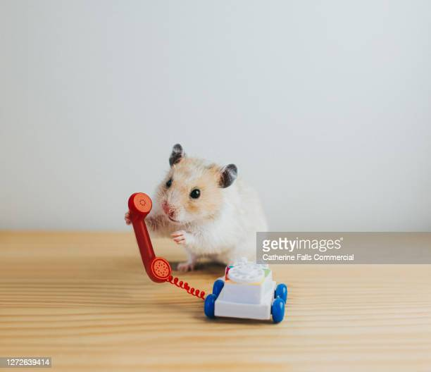 hamster making a phone call - phone message stock pictures, royalty-free photos & images