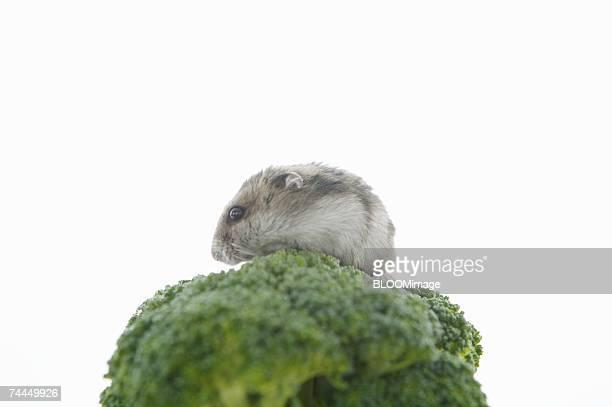 Hamster on broccoli