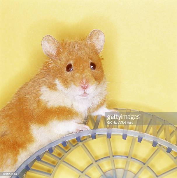 Hamster on exercise wheel