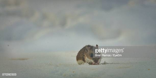 Hamster On Snow Outdoors