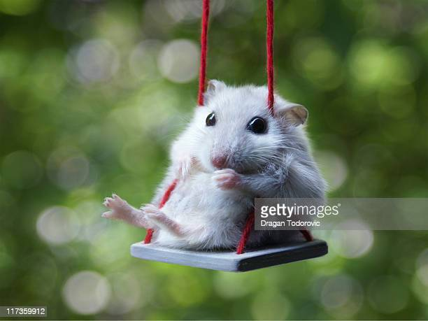 hamster on swing, augusta in park - hamster photos et images de collection