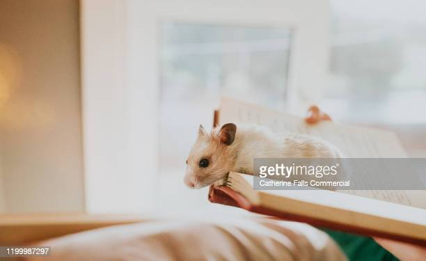 hamster peering over a book. - rodent stock pictures, royalty-free photos & images