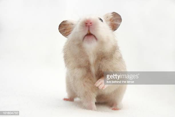 hamster - golden hamster stock pictures, royalty-free photos & images