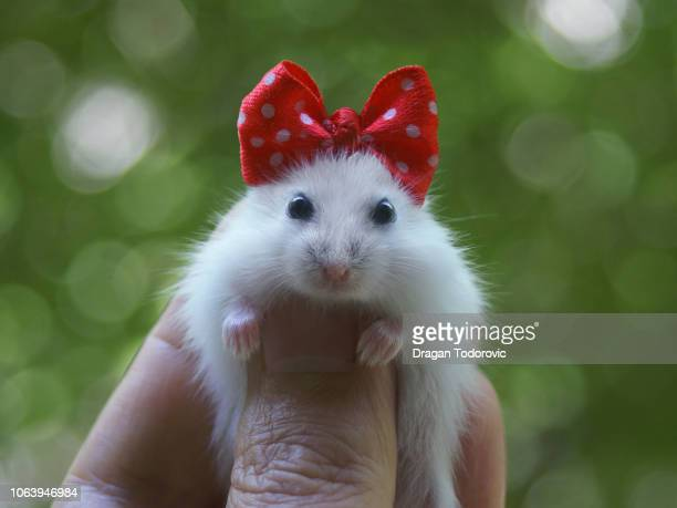 hamster - hair bow stock pictures, royalty-free photos & images