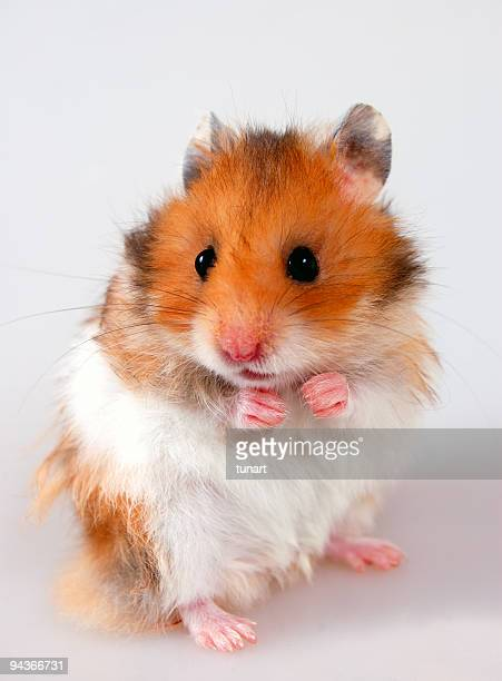 Hamster (Rodent)