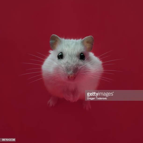 hamster - hamster stock-fotos und bilder