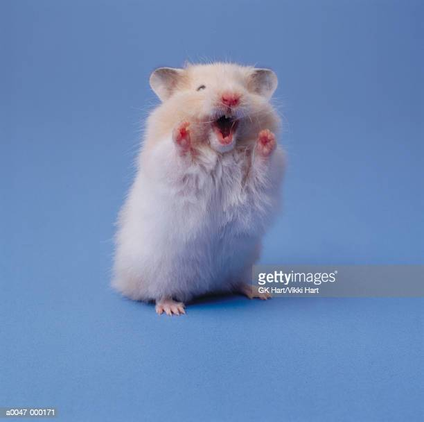 hamster - hamster stock pictures, royalty-free photos & images