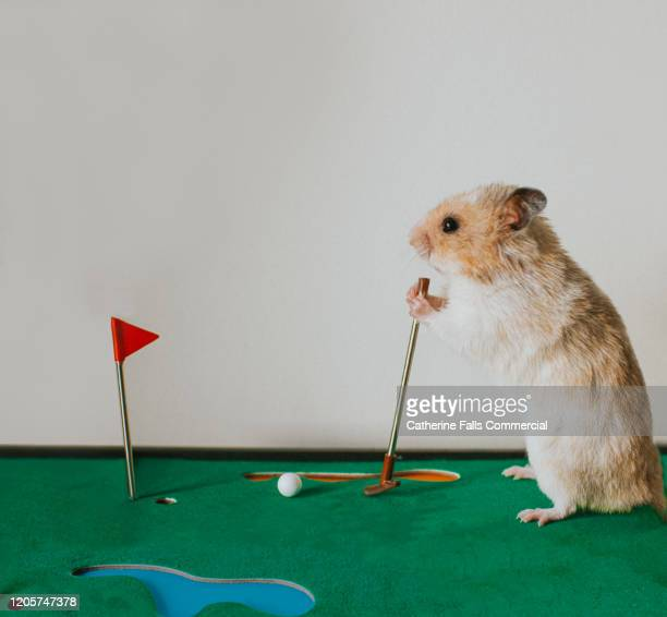 hamster playing golf - golf stock pictures, royalty-free photos & images