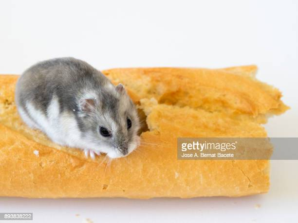 Hamster, rodent, eating of a loaf on a white background. Spain.